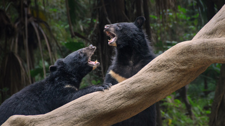 Two black bears fighting at forest photo