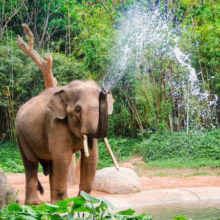 Elephant make water spray - shower