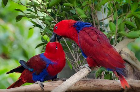 Twoparrots kiss - love birds nature