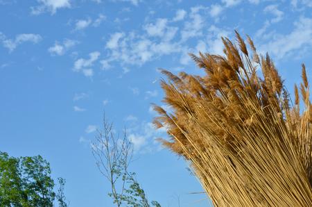 Cane  at blue sky background