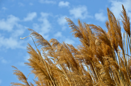 Yeloow cane at blue sky background