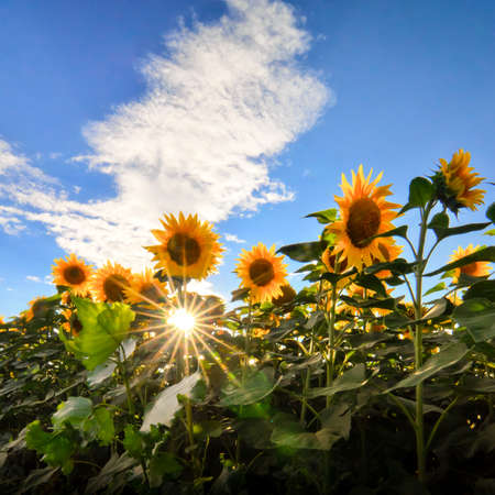 Sunflowers field with clouds sky and sun rays