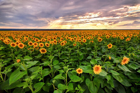 Sunflowers field before the storm  with stormy clouds sky and sun rays