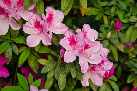 Pink flower bush - close up