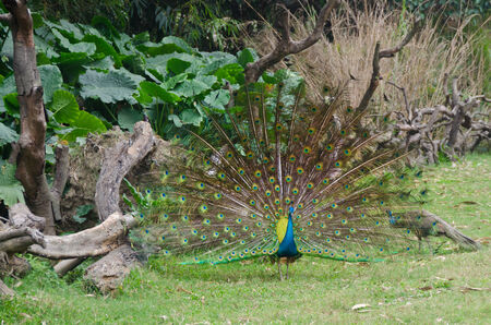 Peacock open tail at jungle tropical forest background