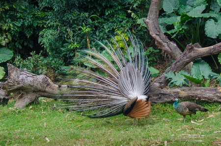 fanned: Two Peacock - one  open tail at jungle tropical forest background