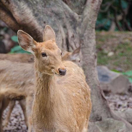 young deer portraite close up