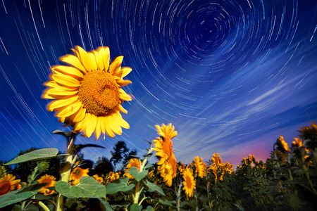 Sunflowers on night - with stars sky and startrails