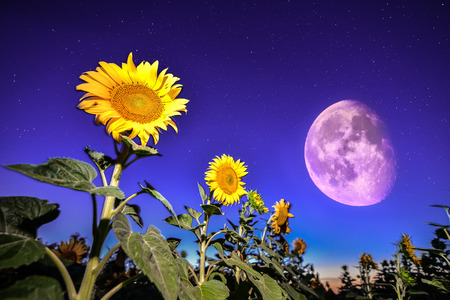 Sunflowers on night - with stars sky and stars and moon