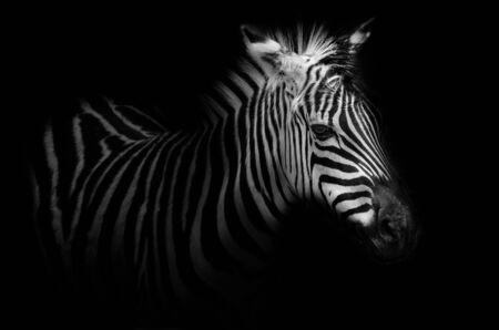 zebra face: Zebra portrait - black noir background