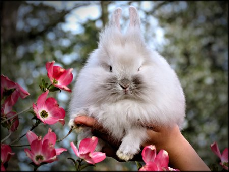 lionhead: Lionhead Rabbit with Pink Dogwood Flowers