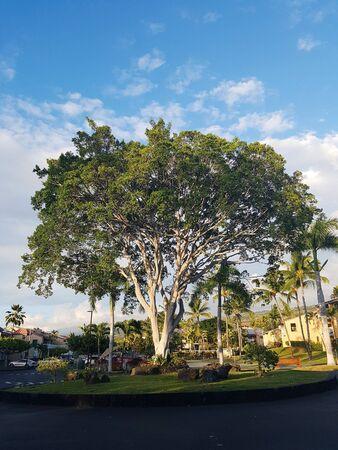 In Hawii Kona resort, special tree. Zdjęcie Seryjne