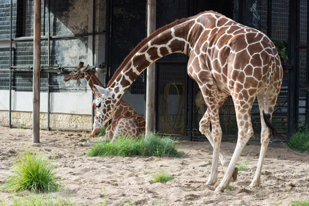 Two giraffe in Saint-Petersburg zoo with long necks Stock Photo