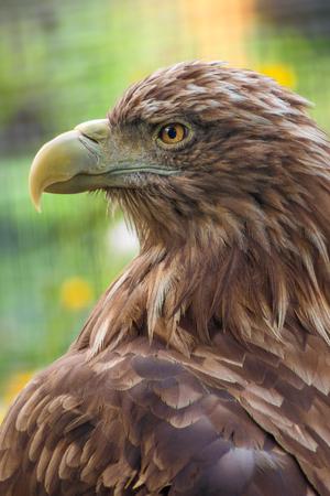 Retrato de águila de cerca, vista lateral
