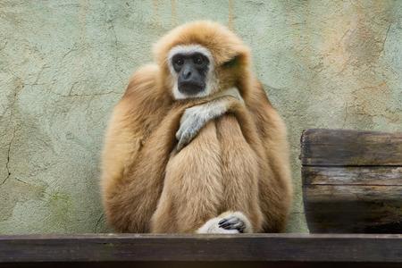 Sad gibbon is sitting in Saint-Petersburg zoo