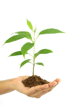 Hand holding green baby plant isolated on white background photo
