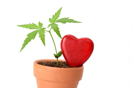Young plant and red heart shape isolated on white background photo
