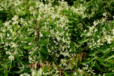 neem: Neem leaves - azadirachta indica  Stock Photo