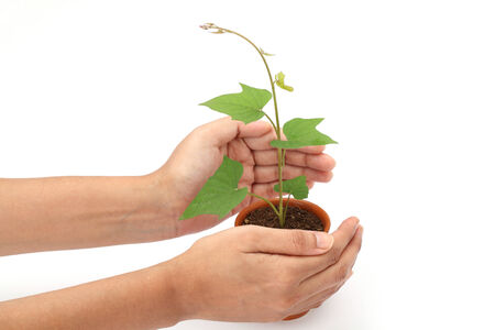 Hands protecting green baby plant isolated on white background photo