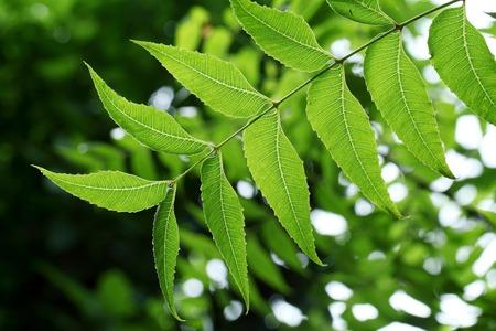 neem: Neem leaves -Medicinal plant