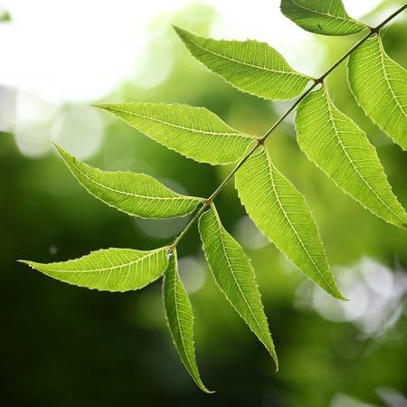 neem: Medicinal plant - neem leaves