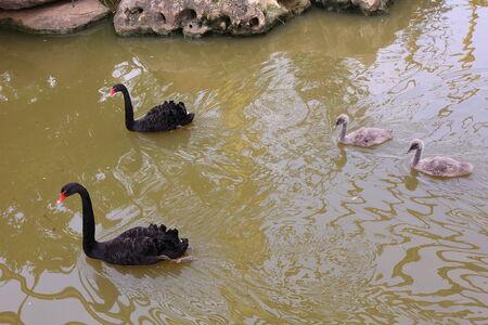 black swan: Black swan parents and its children