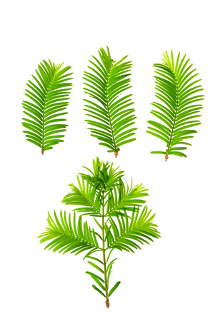 metasequoia: Dawn-redwood (Metasequoia glyptostroboides) leaves isolated on white
