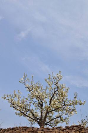 vernal: Spring pear orchard in China