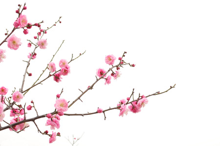 fresh plum tree flowers Stock Photo