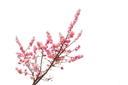 fresh plum tree flower