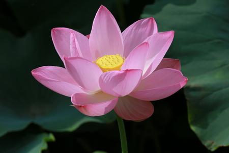 tranquillity: lotus flower