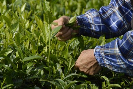 pick: Hainan Green Tea farmer pick tea leaves