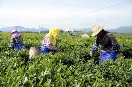 grower: Hainan Green Tea farmer pick tea leaves