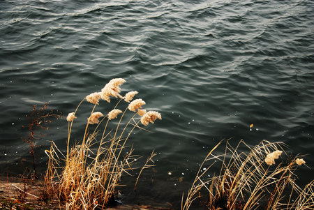 Windy reeds on water