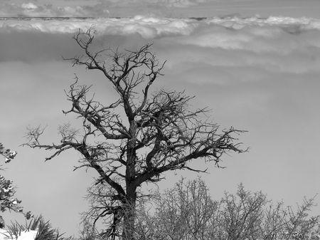 canyon tree