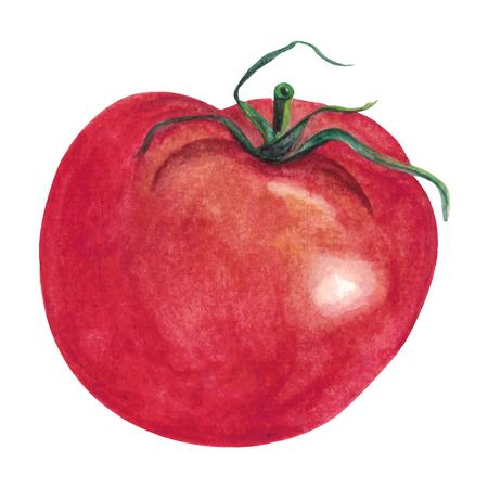 Watercolor hand drawn Tomato