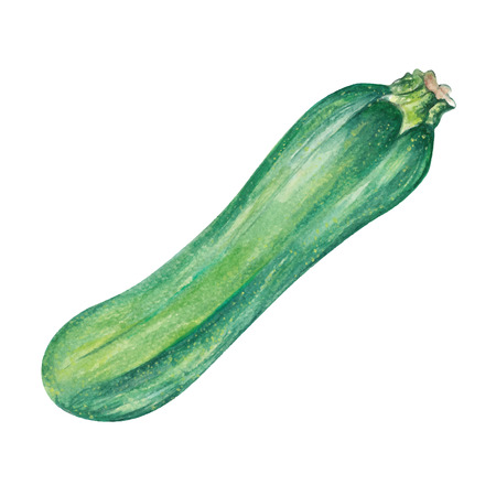 Zucchini Watercolor hand drawn illustration, isolated on white background.