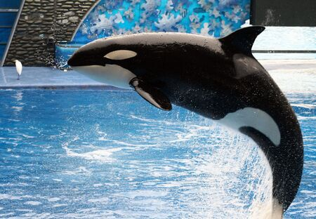 A killer whale jumping out of the water. Stock Photo
