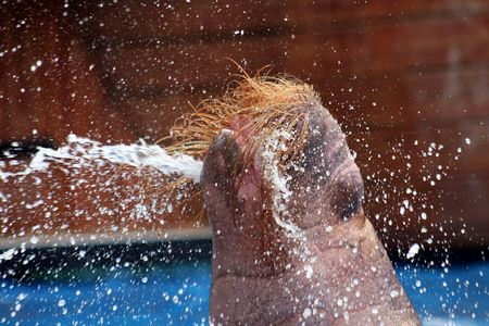 A walrus squirting water from its mouth.  Reklamní fotografie