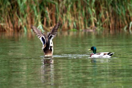 2 ducks in a lake one about to take off!