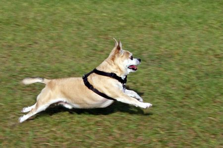pepe: Dog, Pepe, running across the grass, full stretch.