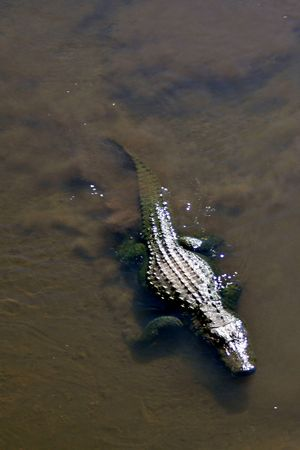 muggy: An allligator swimming in a lake