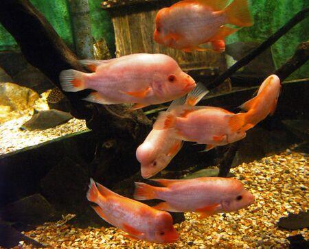fish tank: Pink Fish swimming around in a tank.
