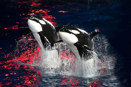 2 Killer Whales jumping in the air at night with bright red light. photo