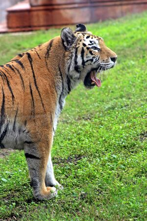 A tiger yawning with tongue out, half body shot.