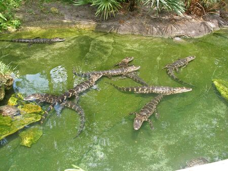 Alligators swimming in water in Florida. Also a Turtle.
