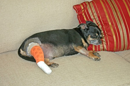 ifestyle: A Dog laying on a couch after surgery.