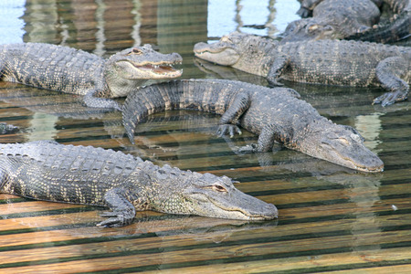 alligators: A lot of Alligators laying on wood in water Stock Photo