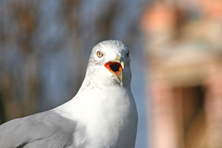 gazing: A seagull gazing into the distance with beak open