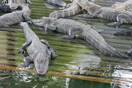 alligators: A lot of Alligators laying in wood in water. Stock Photo